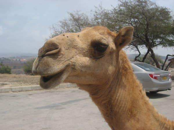 Kamele bei Hiobs Grab