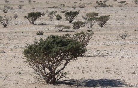 Weihrauckbäume in der Wüste